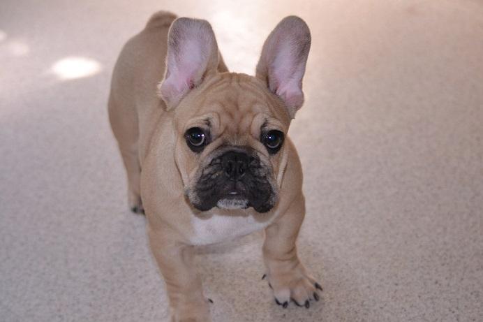 フレンチブルドッグの子犬からのお願い